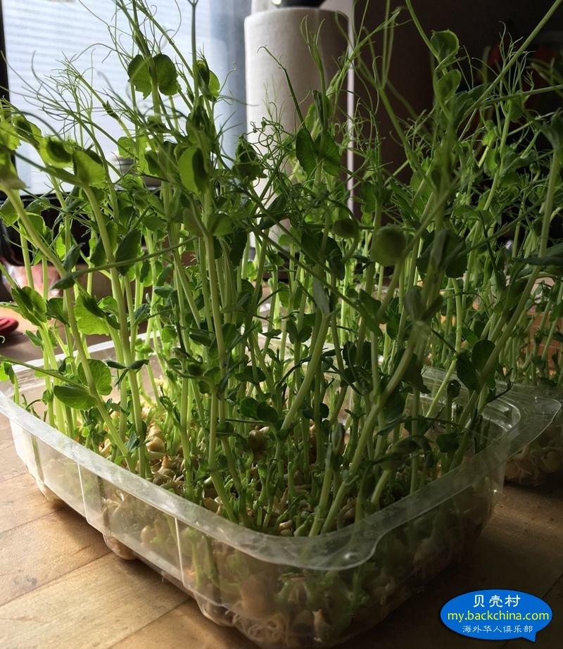 我的家庭版室內水培豌豆苗全教程